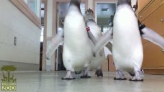 Penguins knock over camera