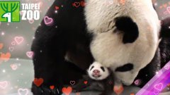Giant panda snuggles with cub