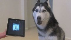 Husky Dog Sings With iPad