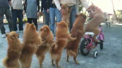 Dog Conga Line In China Led By Dog On Bicycle