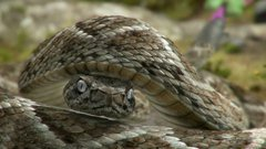 Embarrassed Rattlesnake