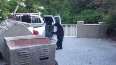 Bear breaking into truck