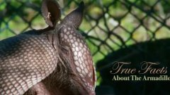 True Facts About The Armadillo