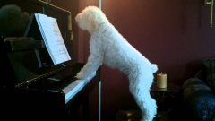 Dog Plays Piano, Sings Along