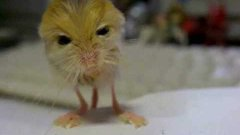 Insanely cute rodent