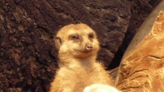 Tired Meerkat Struggles To Stay Awake