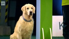 Golden Retriever Hilariously Fails Dog Obedience Competition