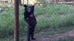 Black Bear Walks Upright Like A Human