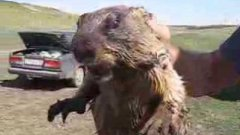 How marmot screams